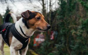 6 Possible Reasons Why Your Dog Hates Their Harness
