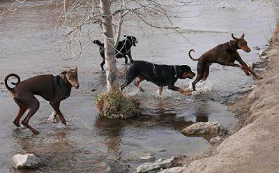 "Red Doberman Fine Art Photography ""Hounds in he Creek"" by International Photographer Kit Hedman, Boarding House Studio Galleries"