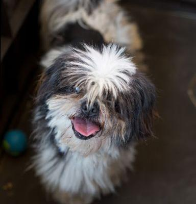 """MICKY"" easy going senior Shih Tzu"