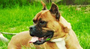 Improve Your Boxer's Skin & Coat With This One Simple Hack