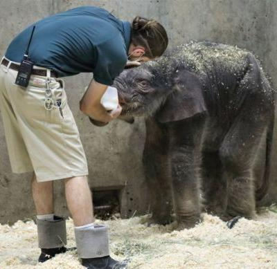 Saint Louis Zoo's elephant calf dies 27 days after birth