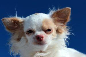 """Why Do Some Small Dogs Have """"Napoleon Syndrome""""?"""