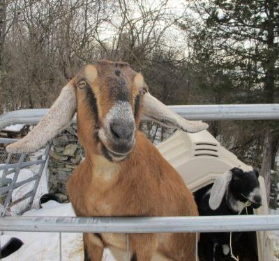 Dog and goat serving as mayor raise money for a playground