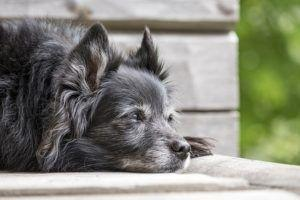 The Top 5 Signs of Heart Disease in Dogs