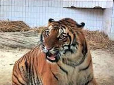 Minority group objects to name of maneater tiger | Bareilly News - Times of India