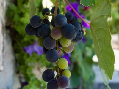 Ask Adam: Are Hybrid Grapes Better for the Environment?