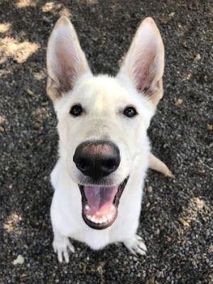 """BLUEBELLE"" in Foster Home - lovable white German Shepherd teenager"