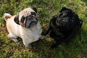 3 Things All Pug Owners Should Know