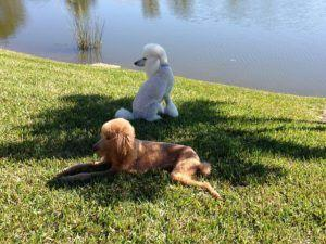 3 Things Your Poodle Loves More Than Anything