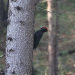 How to see a Black Woodpecker in Germany
