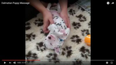 How This Dalmatian Puppy Can Change Your Dog Training