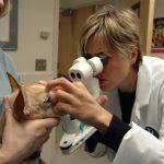 Free eye exams for service and working animals offered in May by Cummings Veterinary Medical Center at Tufts University