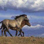 Wild horse contraception research: priming and boosting doses