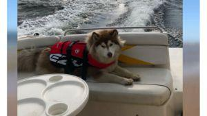 Dog Swims 5 Miles To Safety After Jumping Off A Boat To Chase Ducks