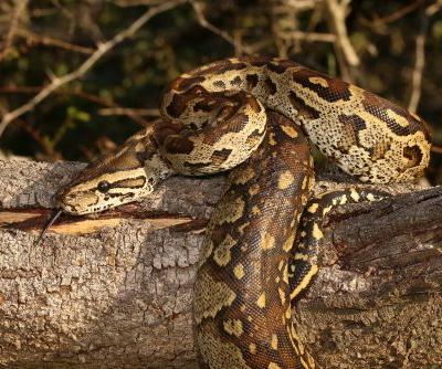 23-foot-long python devours woman in Indonesia