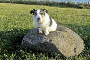 How To Teach Your Jack Russell Terrier To Sit & Stay