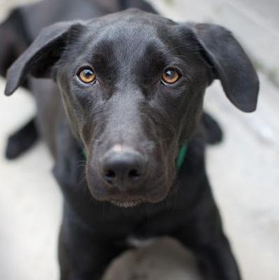 """JET"" smart and eager young Lab mix"