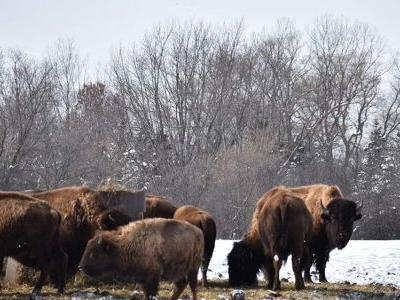 Bison Meat is Overtaking Cow's Milk in America's Dairyland