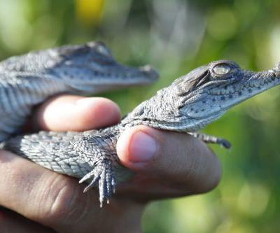 Once-endangered American crocodiles thriving outside nuclear plant
