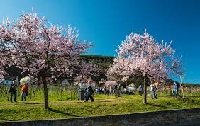 Almond Blossom Festival along German Wine Road signals arrival of spring