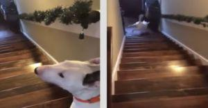 Dog Flies Down The Stairs In Hilarious Video