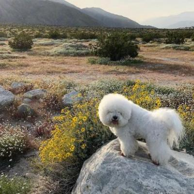 Bichon Frisé Breed Information Guide: Quirks, Pictures, Personality & Facts