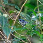 How to Help Cerulean Warblers, Other Migrant Species, and Resident Birds in Costa Rica