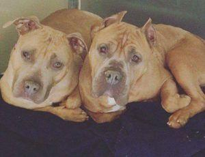 These Bonded Dogs Were Adopted Separately. Then Fate Stepped In To Reunite Them