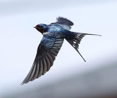 Swallows and Tattoos