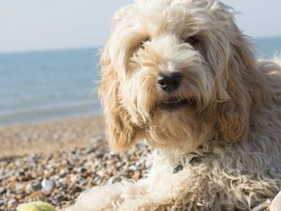 Revealed: Top 5 Most Popular Designer Dog Breeds