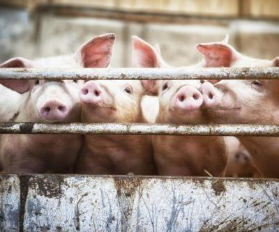 """Japanese ban on creating human organs in animals to be lifted; """"transplant farms"""" to mass produce organs for disease-ridden humans?"""