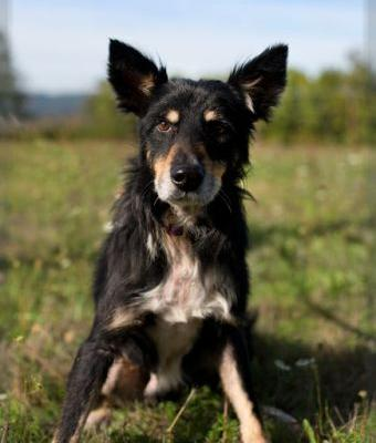 """""""MARLIE"""" border collie mix - looking for love and support"""