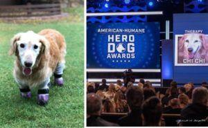 Dog Raised For Meat Loses All 4 Paws But Wins Big At Hero Dog Awards