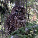 Bird Litigation: Spotted Owl v. Barred Owl