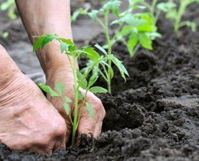 11 tasks for the early summer garden: Sow tomatoes and chillis, train cucumber vines