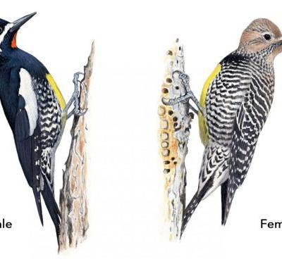 The People Behind the Birds Named for People: Williamson's Sapsucker
