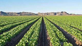 Lettuce research, pathogen control pursued on academic, industry fronts