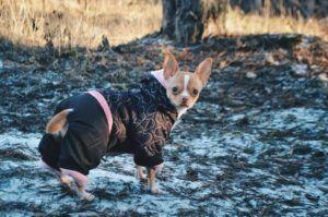 Are Luxating Patellas Slowing Your Energetic Chihuahua Down?