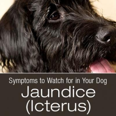 Symptoms to Watch for in Your Dog: Jaundice