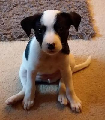 """""""DAISY"""" american shelter dog mix.""""PIPPIN"""" chi mix.PUPPIES"""