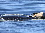 Grieving mother orca is STILL holding her calf's body above the water