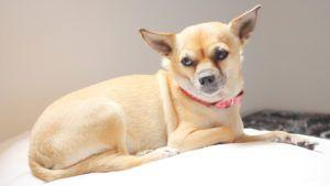 Choosing The Best Joint Supplement for a Chihuahua - 6 Things You Must Know