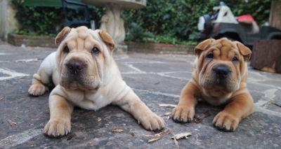 Get to know: the Shar Pei