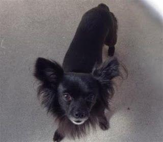 """""""COURAGE"""" adorable happy chi mix - a bit special needs"""
