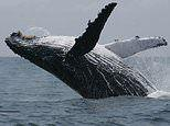 Humpback whales 'remix' songs with neighbors thousands of miles away