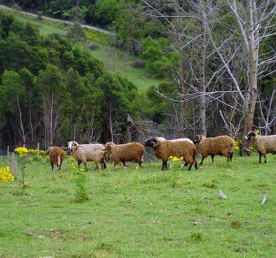 Why scientists are interested in these rare New Zealand feral sheep