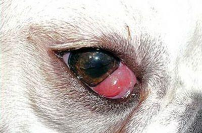 Top Veterinary Articles of the Week: Cherry Eye, Ticks versus Skin Tags, and more