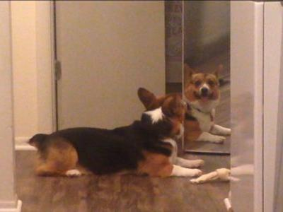 Corgi who just wants to share his bone with his reflection is the most pure creature of all