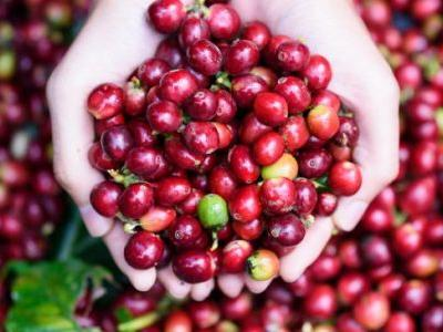 Coffee Fruit Nutrition vs. Coffee Beans: How Do They Compare?