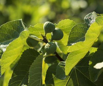 Study: Euromed's ABAlife fig extract promotes muscle metabolism and insulin sensitivity